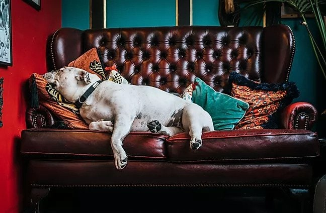 bulldog sleeping on a couch